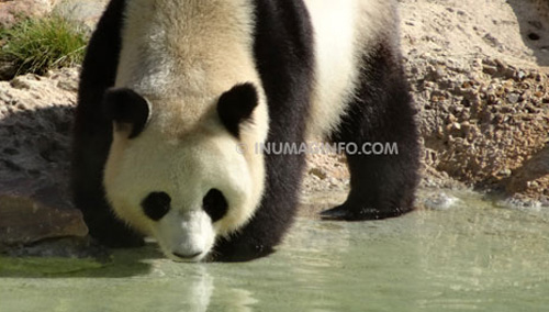 en photo les Pandas zoo, parc de Beauval département 41 - inumaginfo.com