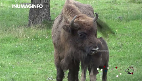 les bisons d'europe en video et photo - inumaginfo.com
