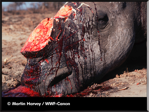 braconnage rhino - photo WWF-Canon/James Morgan - inumaginfo.com