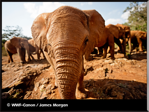 un éléphant nous fait face - photo WWF-Canon/James Morgan - inumaginfo.com